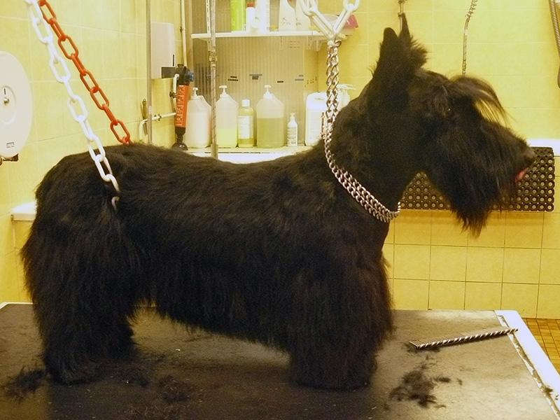 Scottish Terrier en épilation