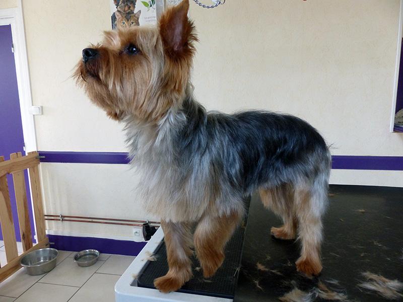 Coiffure pour chien yorkshire - Coupe de poils pour yorkshire ...